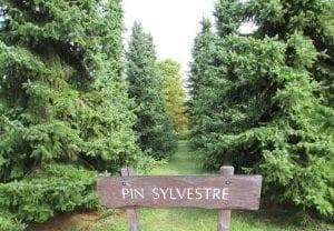 Bosque de pinos silvestres